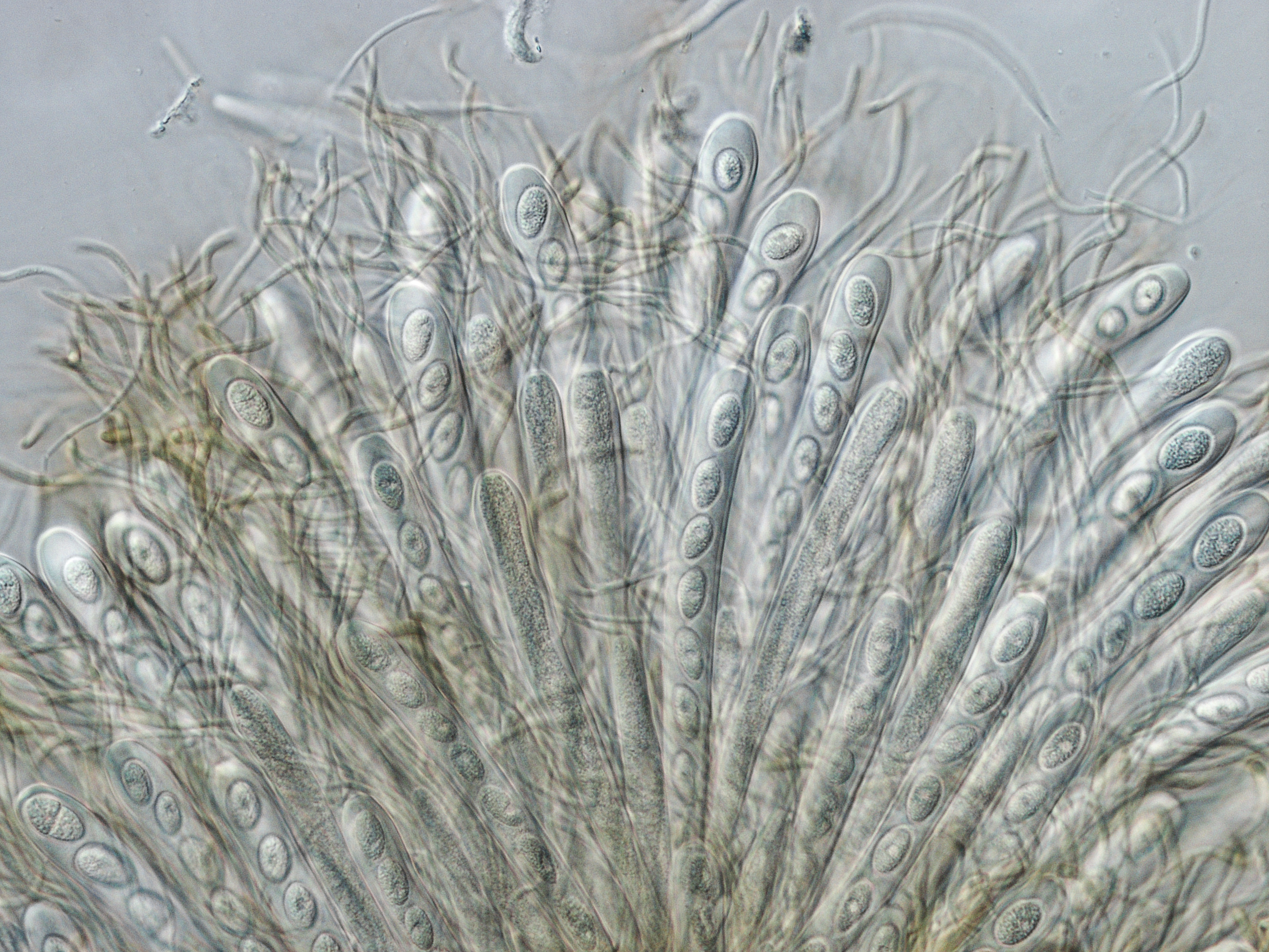 Tympanidaceae