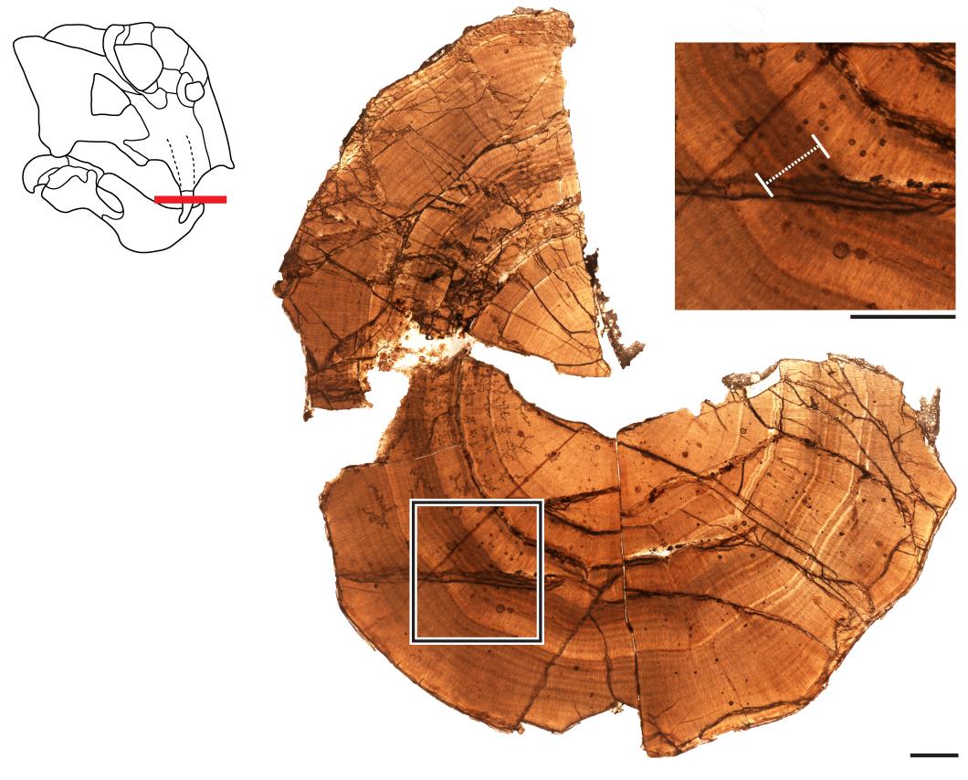 Thin-section Antarctic Lystrosaurus