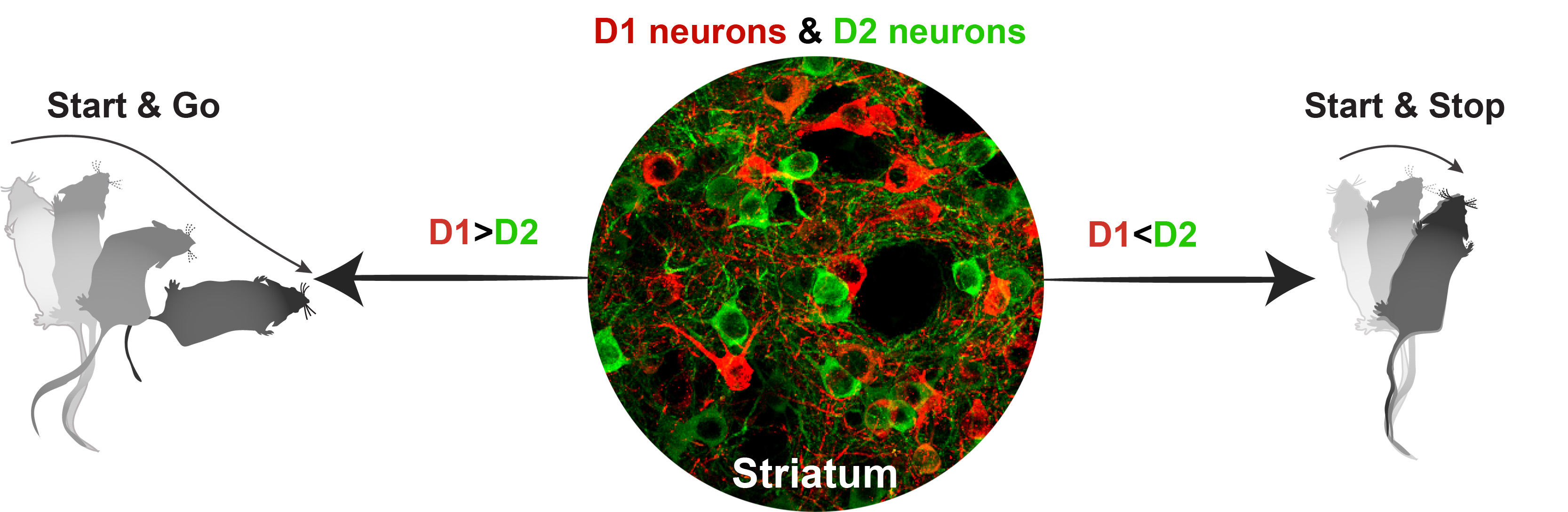 Micrograph of D1 and D2 Neurons with Illustration of Mouse Movements