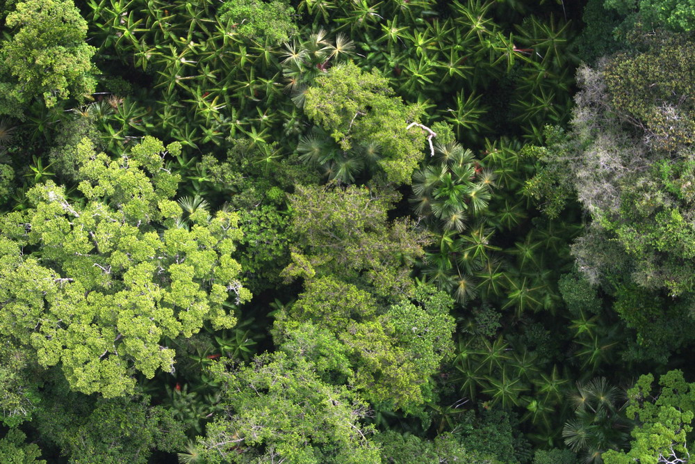 Canopy of Forest in French Guiana with Amazonian Hyperdominant Domesticated Palm Species