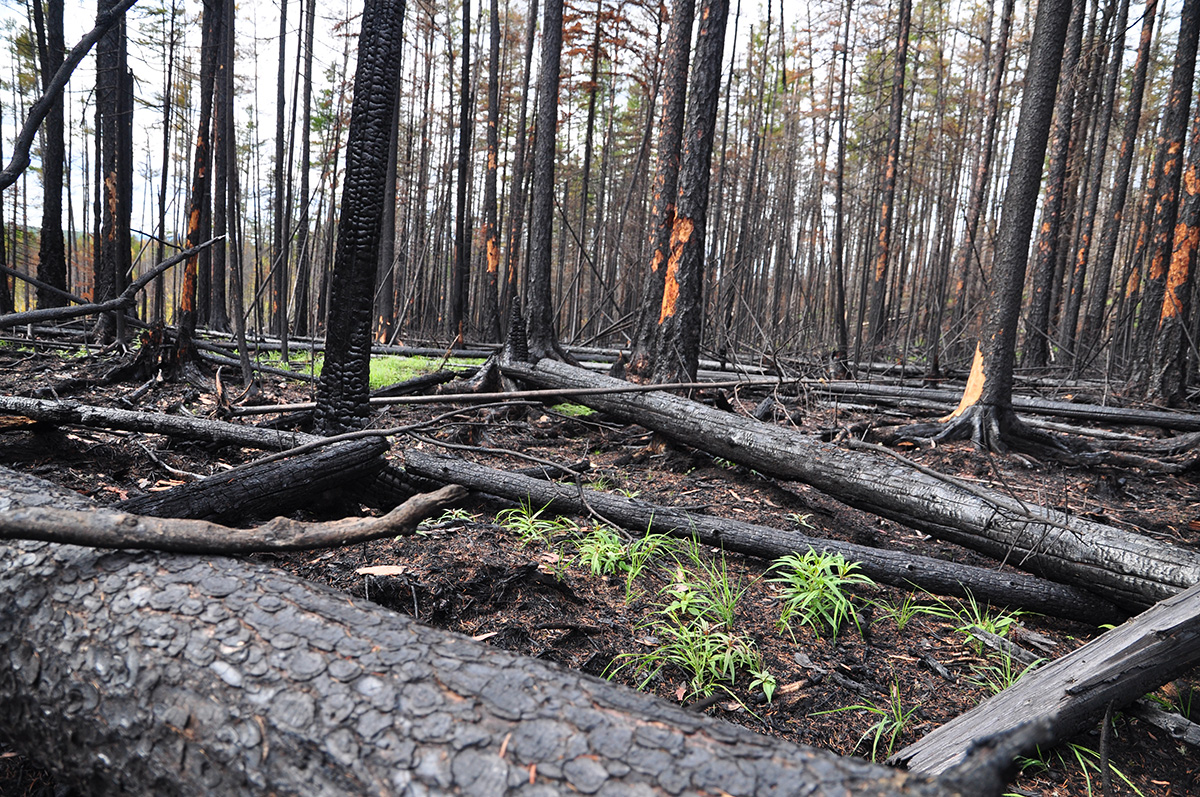 Field in the Russian Far East after a Forest Fire