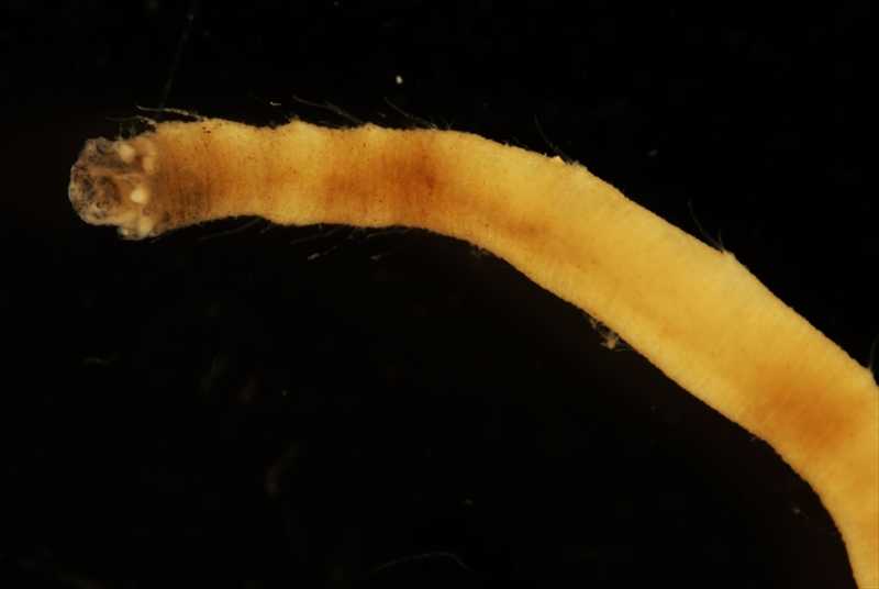 Biologists Discover New Species of Sea Worm