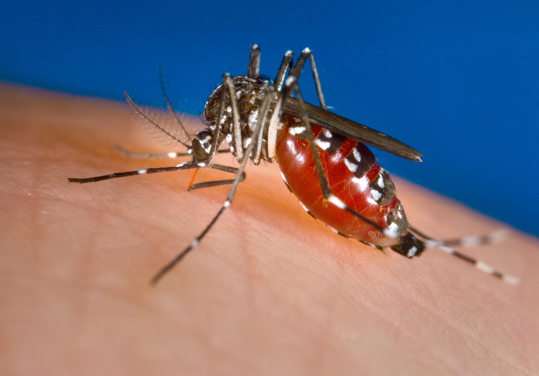 <em>Aedes Albopictus</em> Mosquito