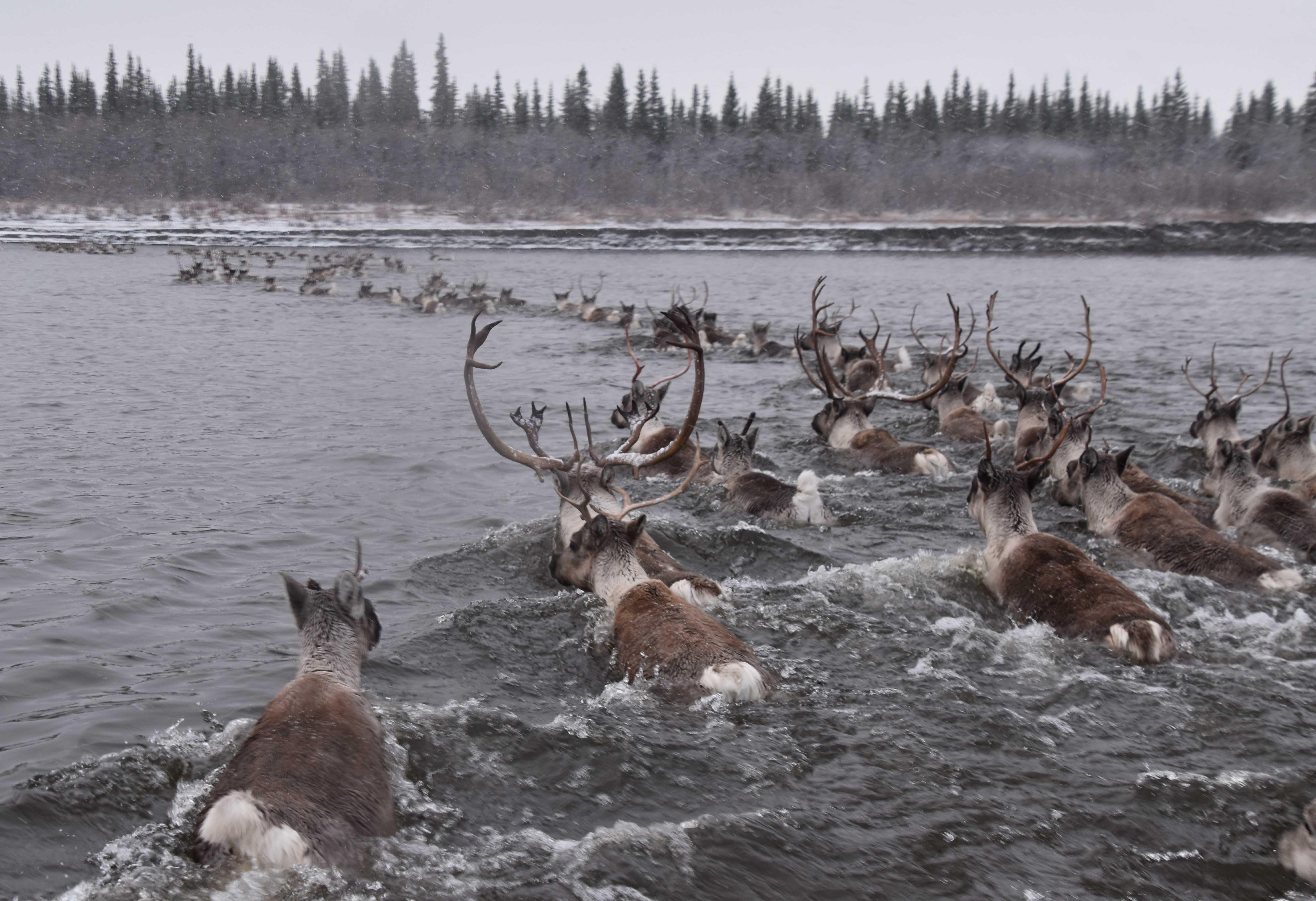 Caribou Crossing Water
