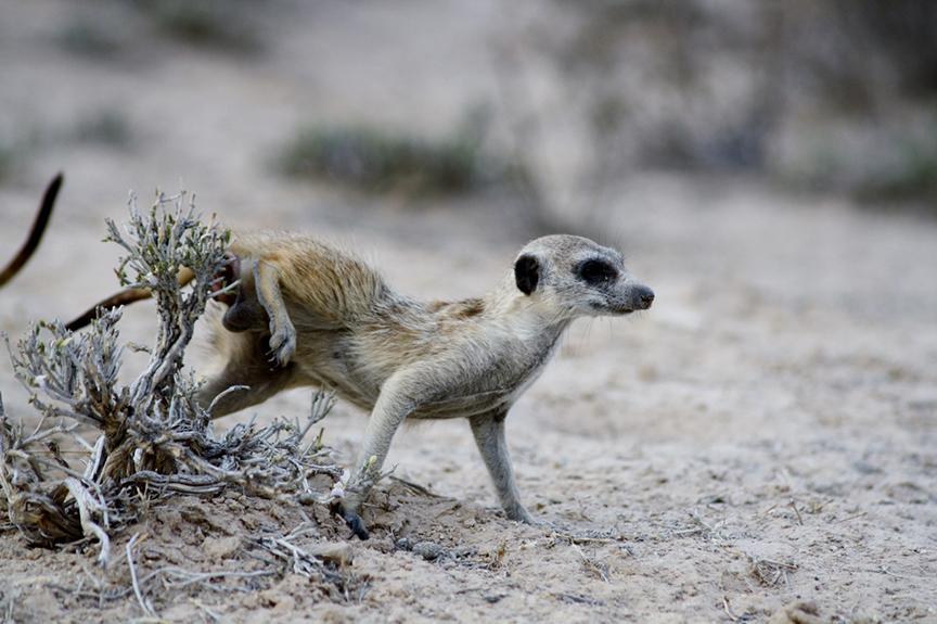 Meerkat Scent Marking