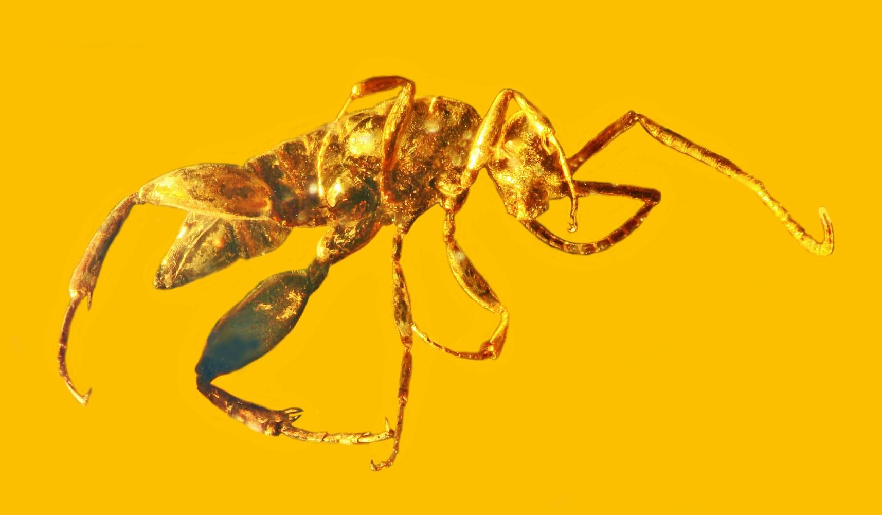 Wingless Wasp