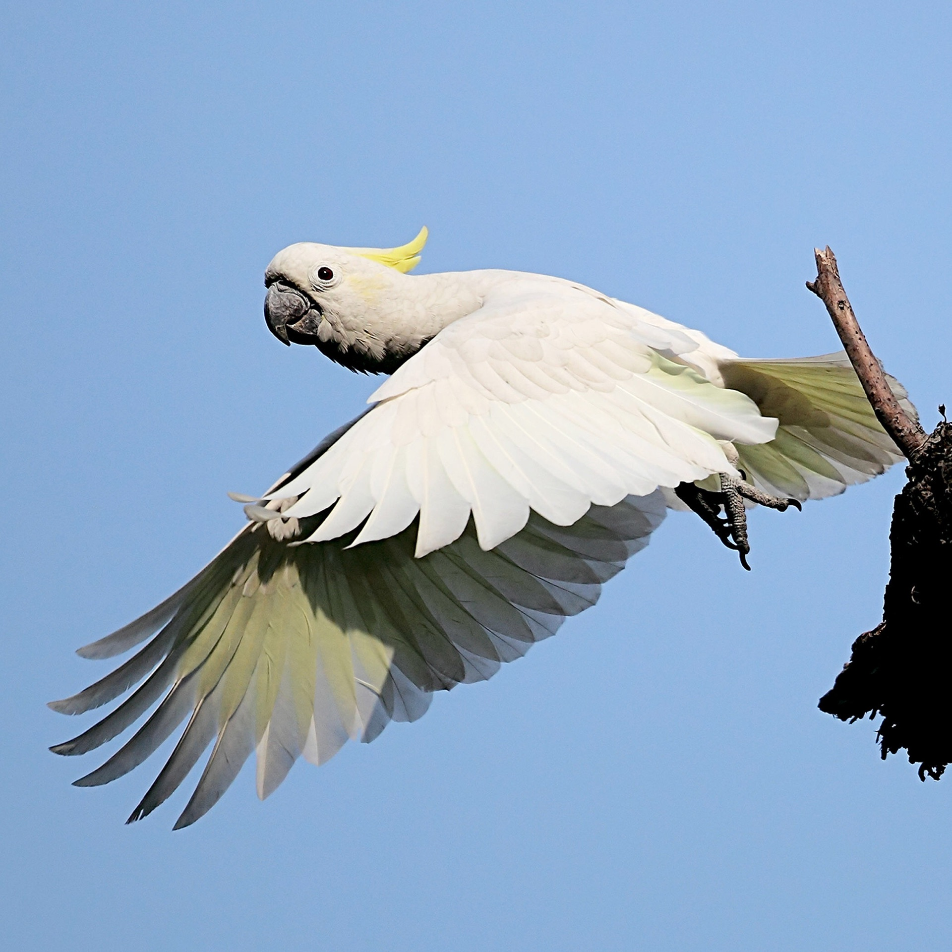 Yellow-Crested Cockatoo in Hong Kong