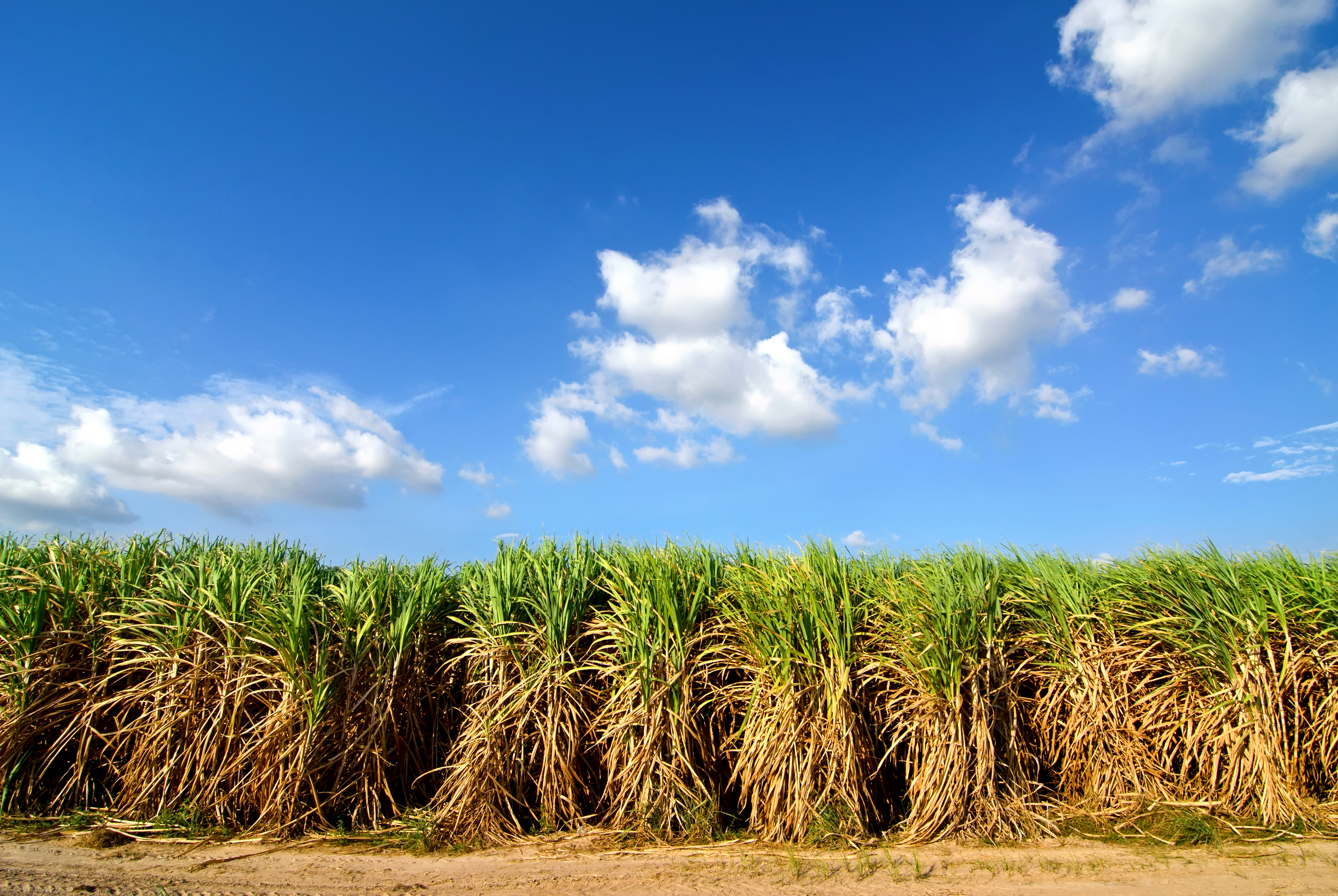 Sugarcane with Traditional Row Spacing