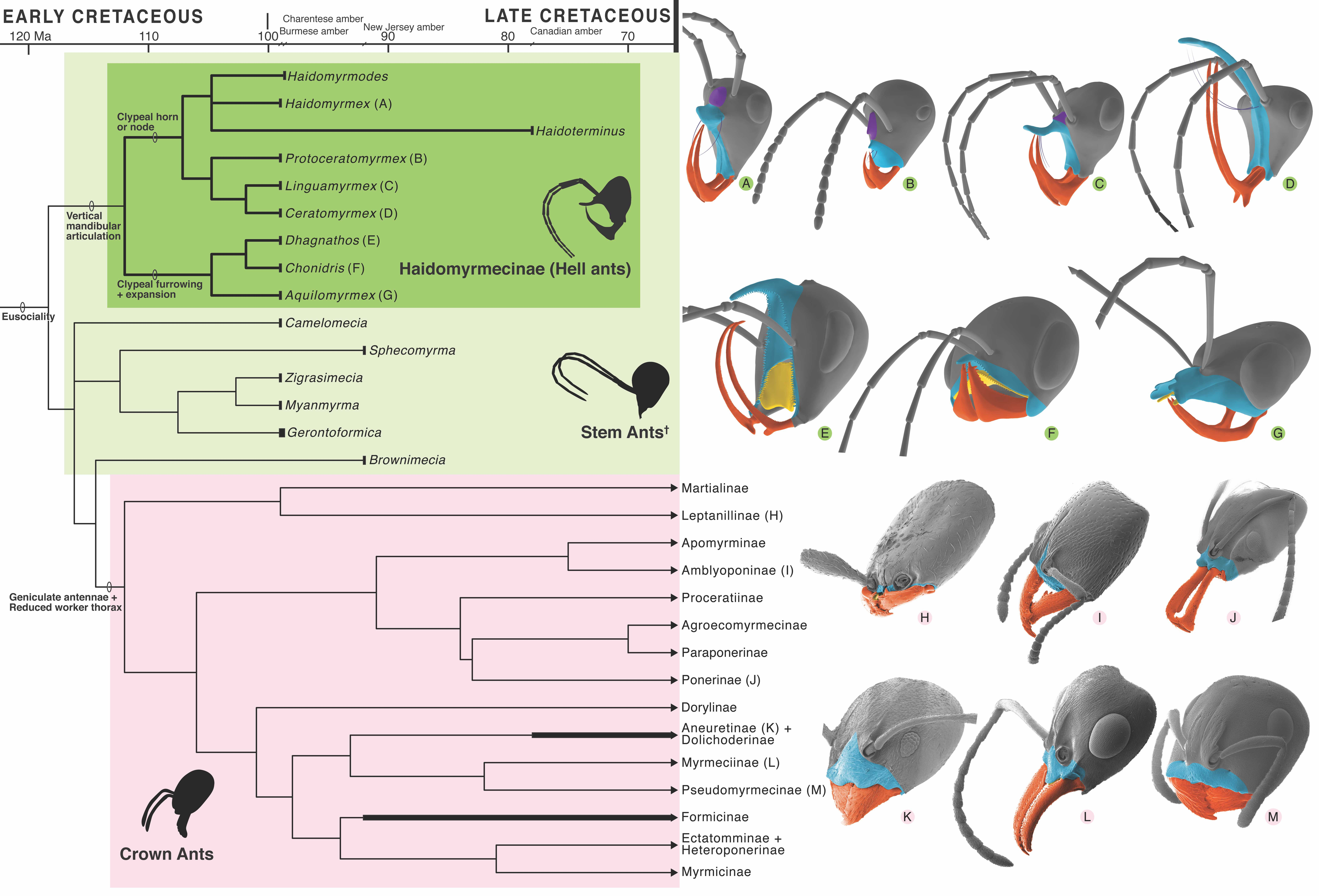 Driving Diversity of Hell Ants & Their Headgear