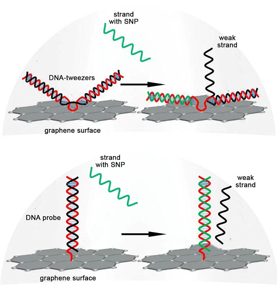 Cartoon: DNA Strand Displacement with DNA-tweezers and Zipper Probe 2