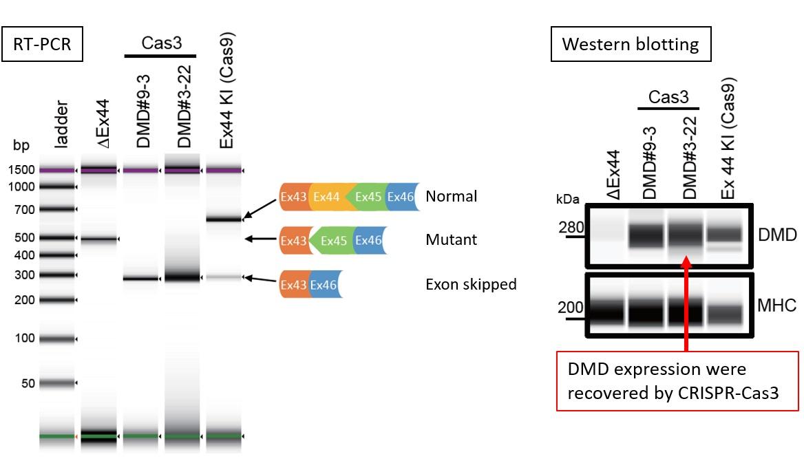 Cas3-Mediated DMD Exon Skipping