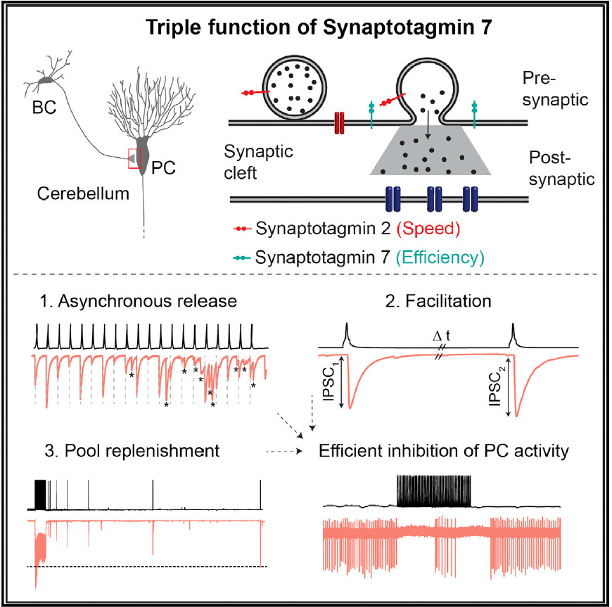 The Triple Function of Synaptotagmin 7