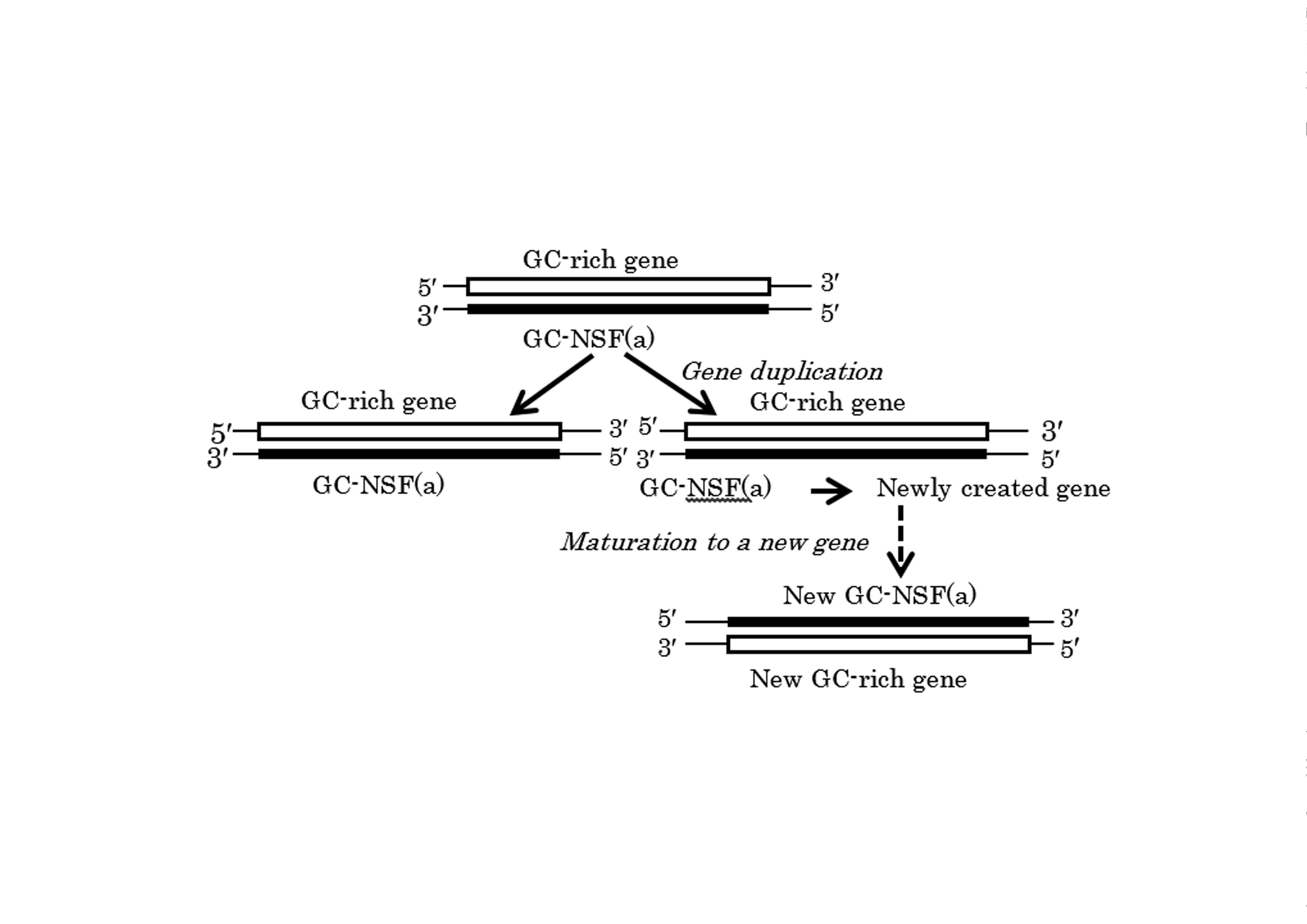 Direct Evidence of the GC-NSF(a) Hypothesis on Creation of an Entirely New Gene/Protein