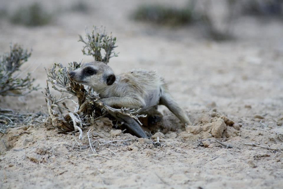 Meerkat Sniffs for Scent Left behind on a Bush