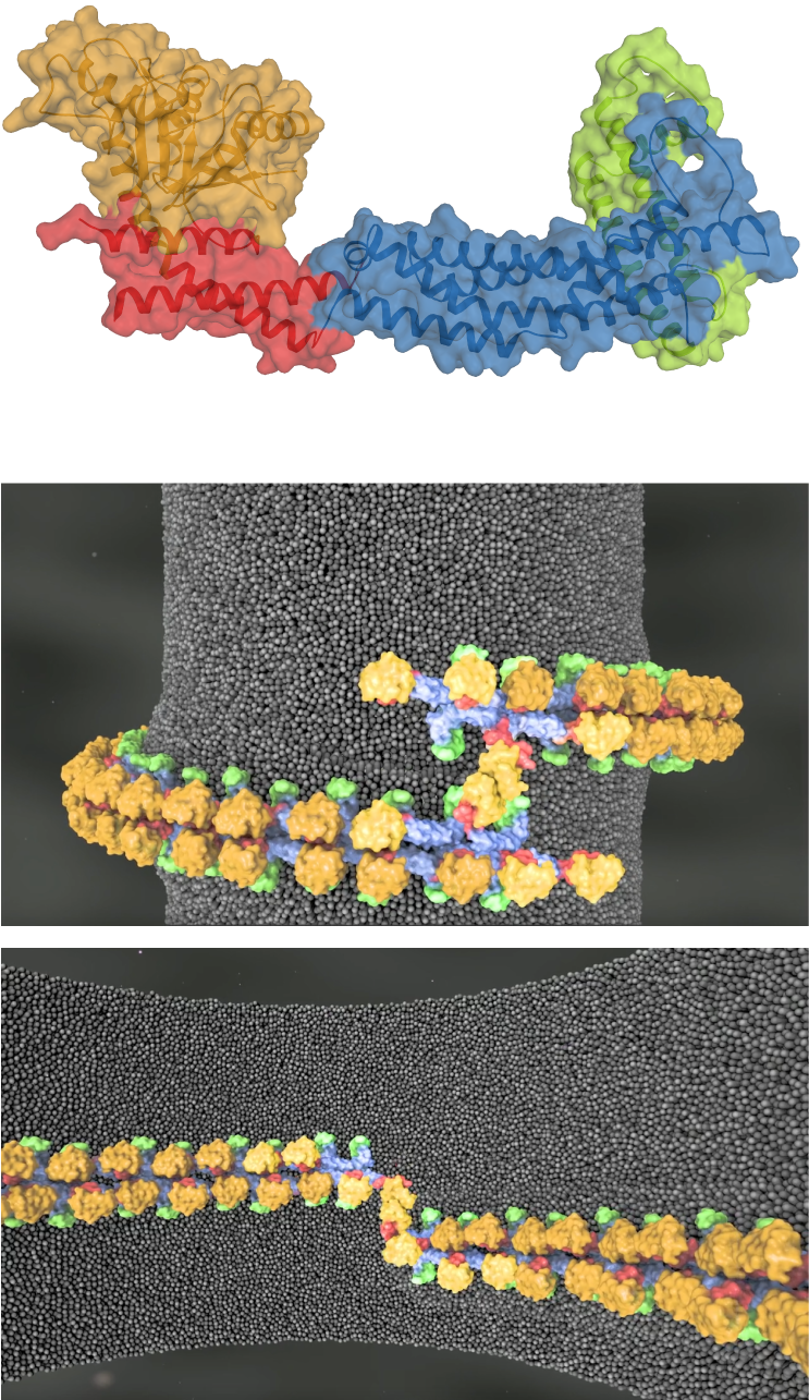 3D Structure of Mgm1