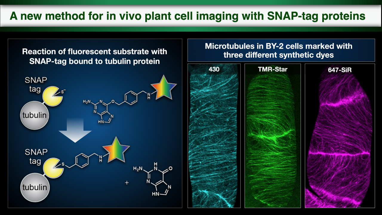 SNAP-Tag Imaging Enabled in Living Plant Cells
