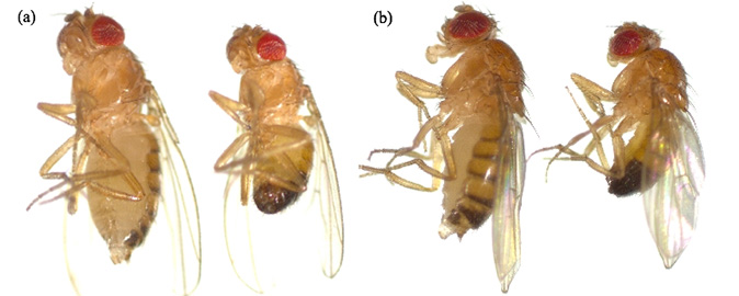 The Fruit Fly (<i>Drosophila melanogaster</i>)