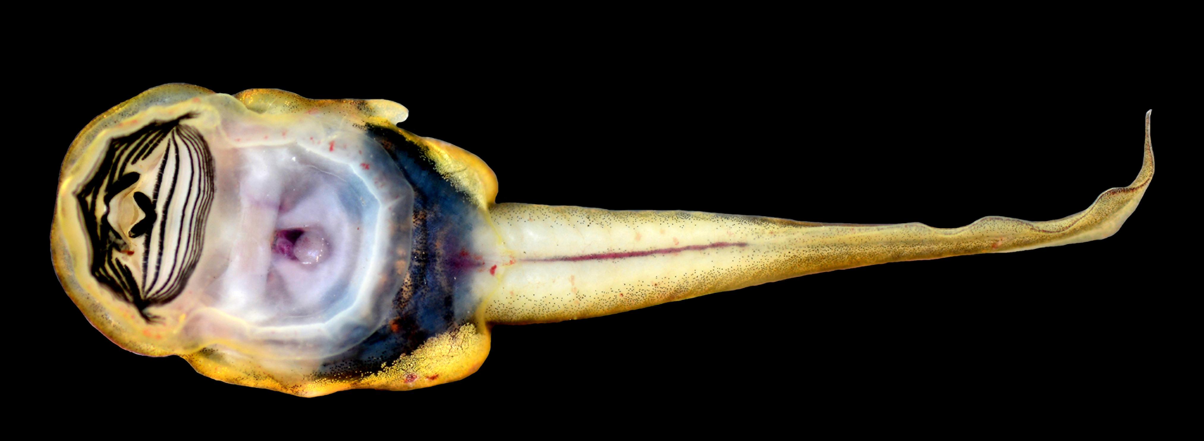 Tadpole of a Sumatran Cascade Frog