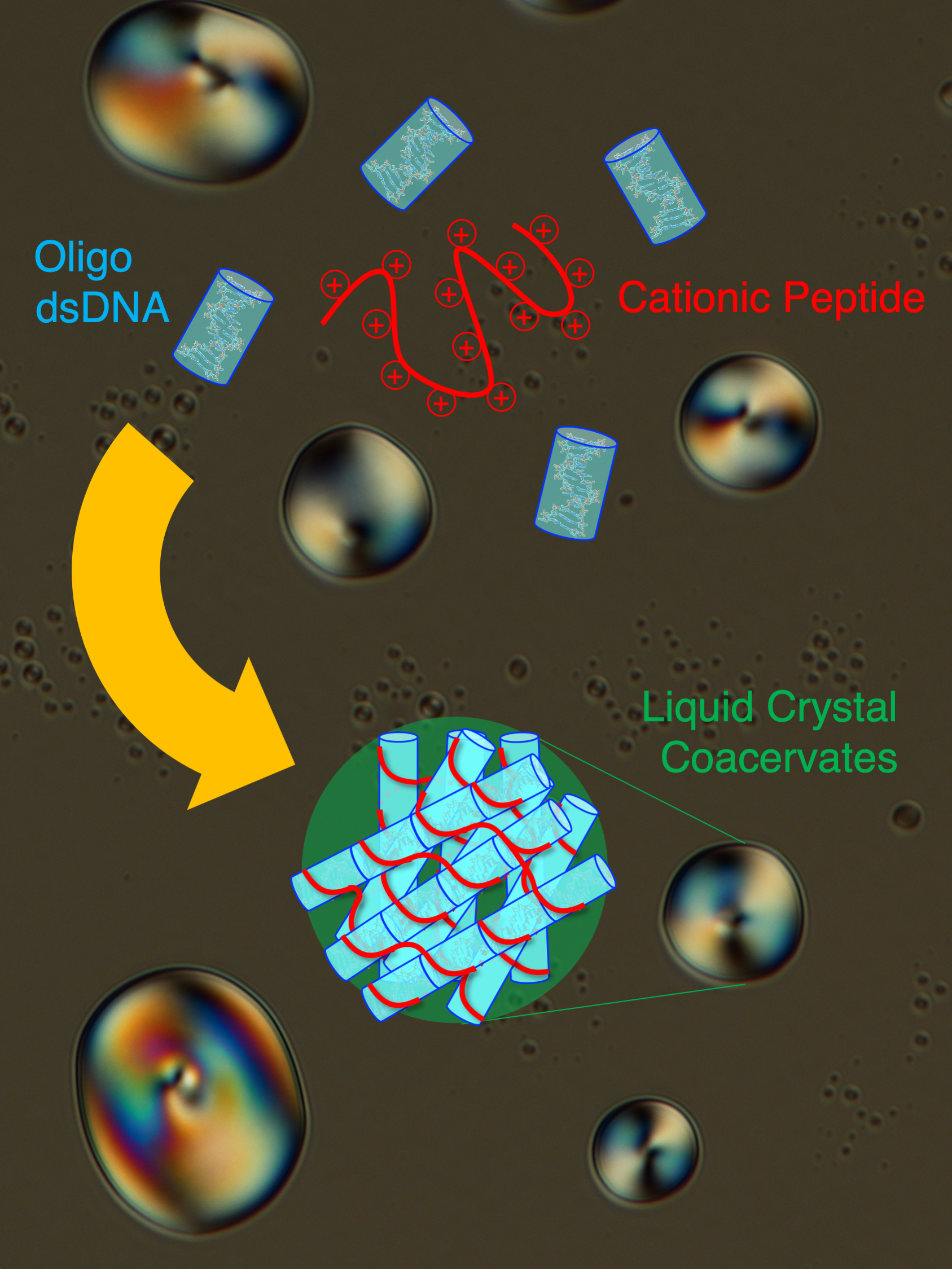 Schematic of the Liquid Crystal Coacervate System