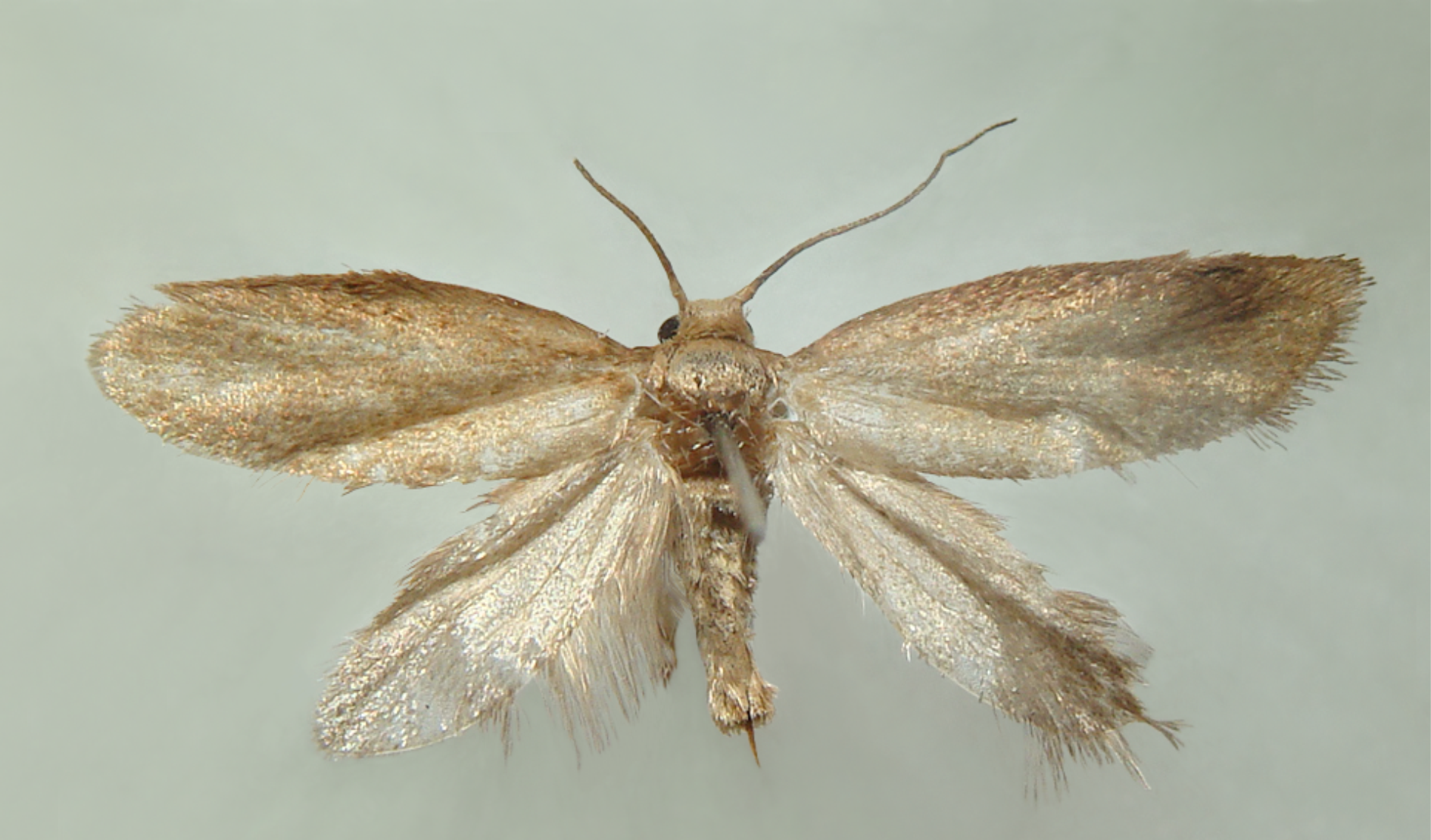 Female of the New Gall-Inducing Moth, <i>Cecidonius pampeanus</i>