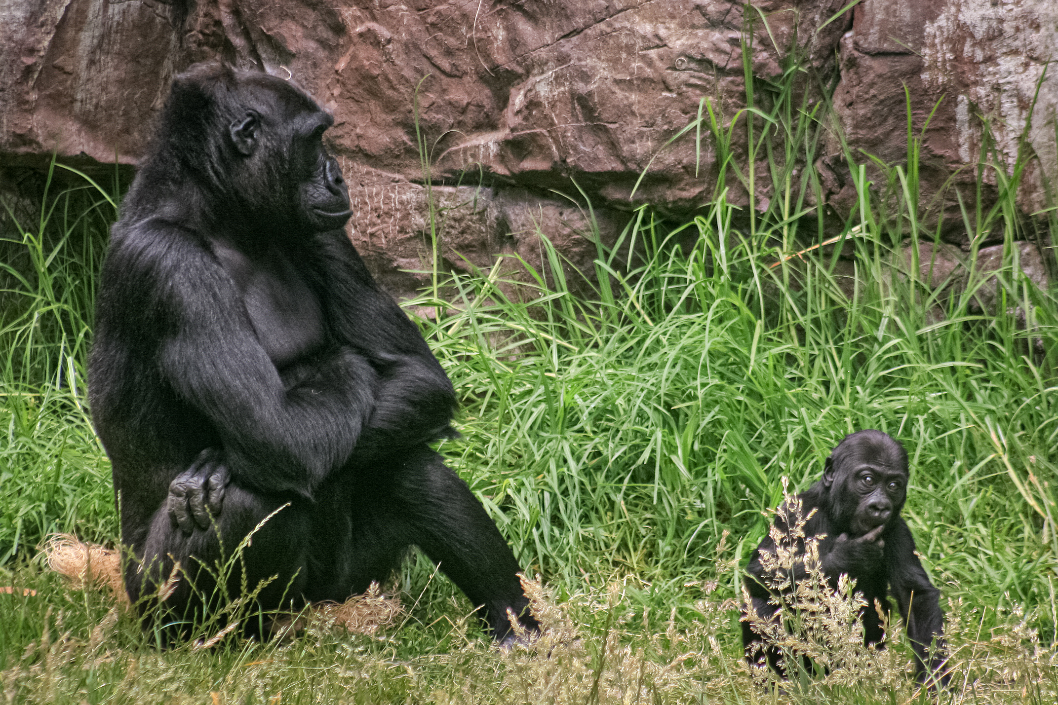 Female Gorilla with 8 Months Old Offspring in Zoo