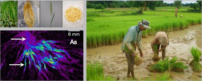 Rice Soil Chemistry