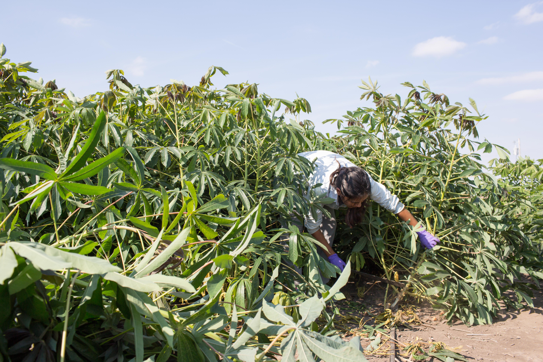 Cassava Harvest