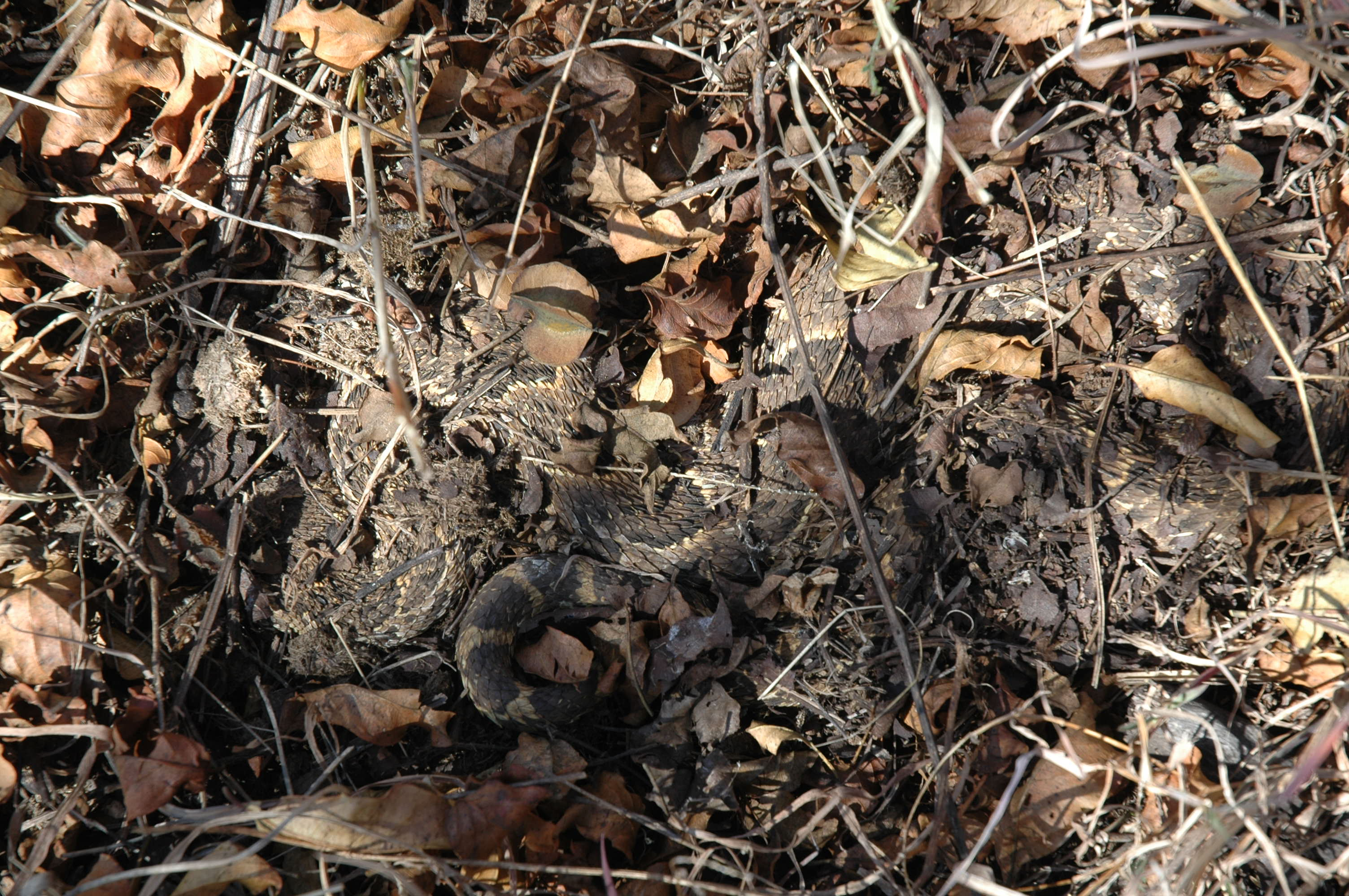 Camouflaged Puff Adder