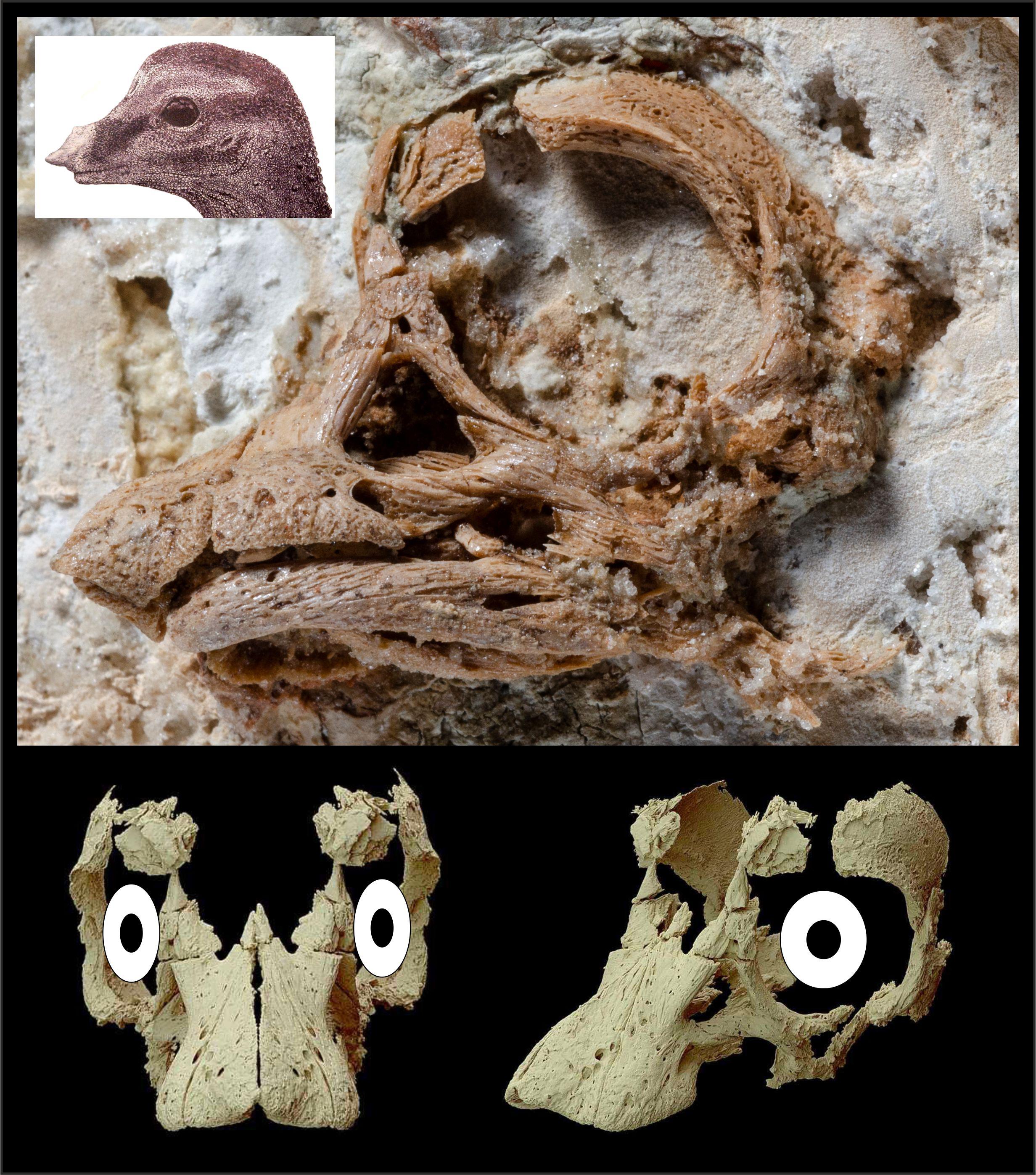 Titanosaurian embryo skull with reconstructions