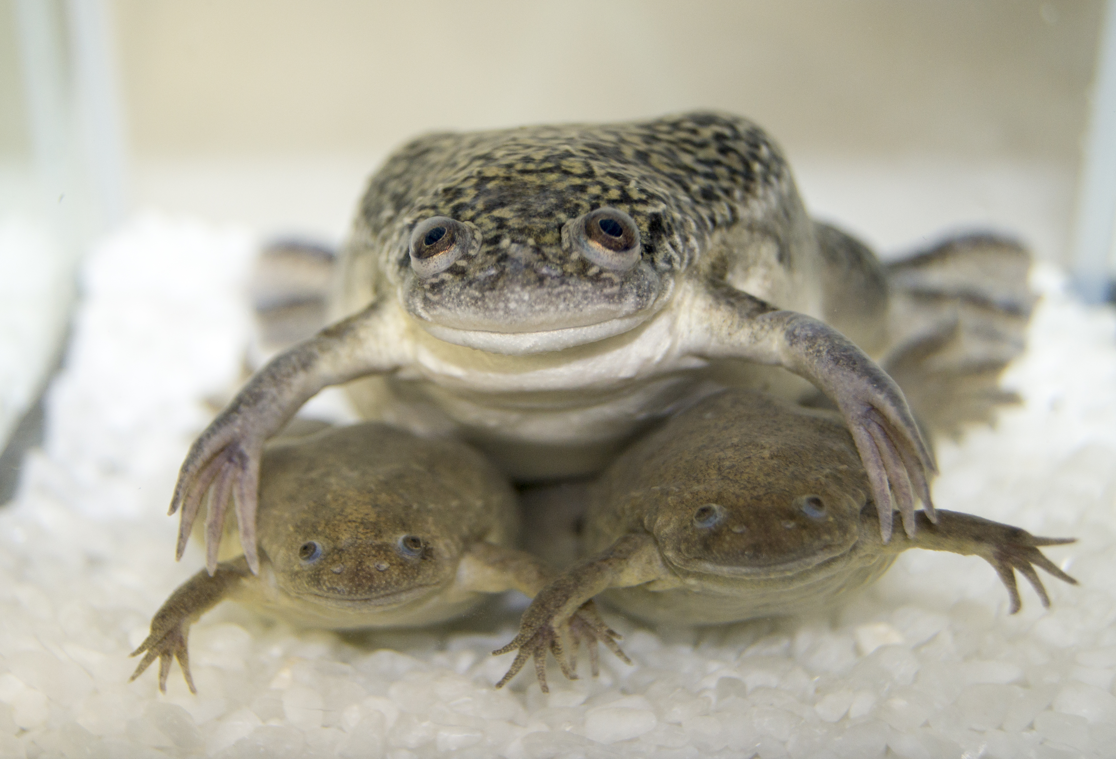 The African Clawed Frog <i>X. laevis</i> and the Western Clawed Frog <i>X. tropicalis</i>