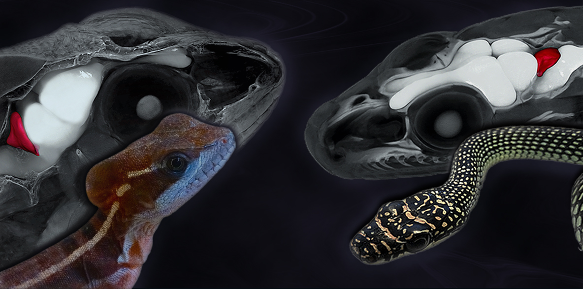 Lizard and Snake Brains in 3D