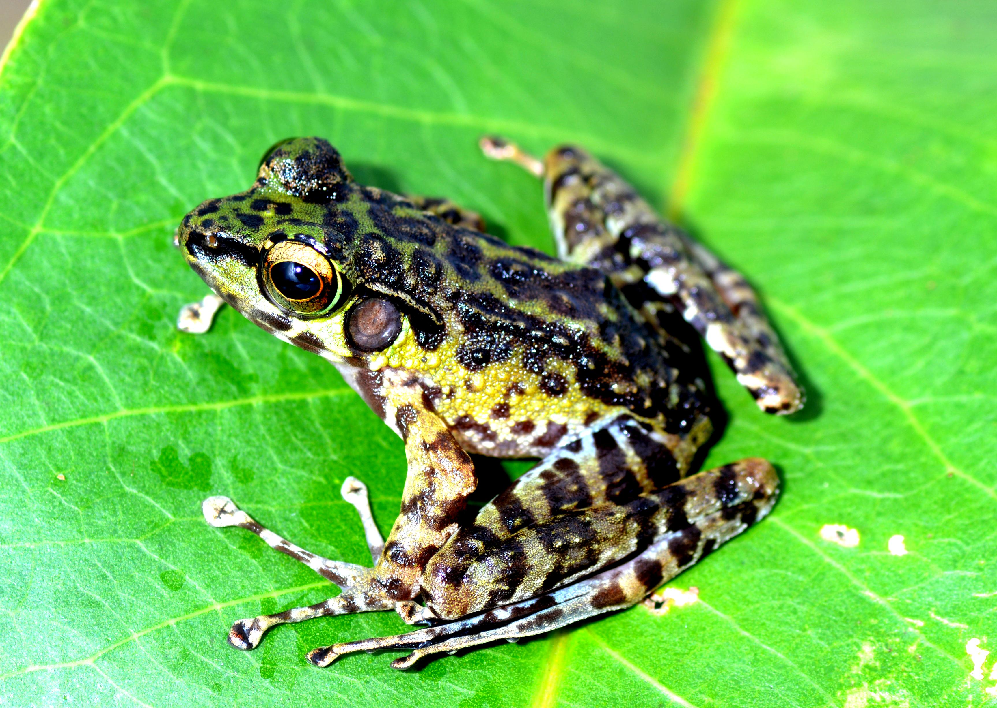 Sumatran Cascade Frog