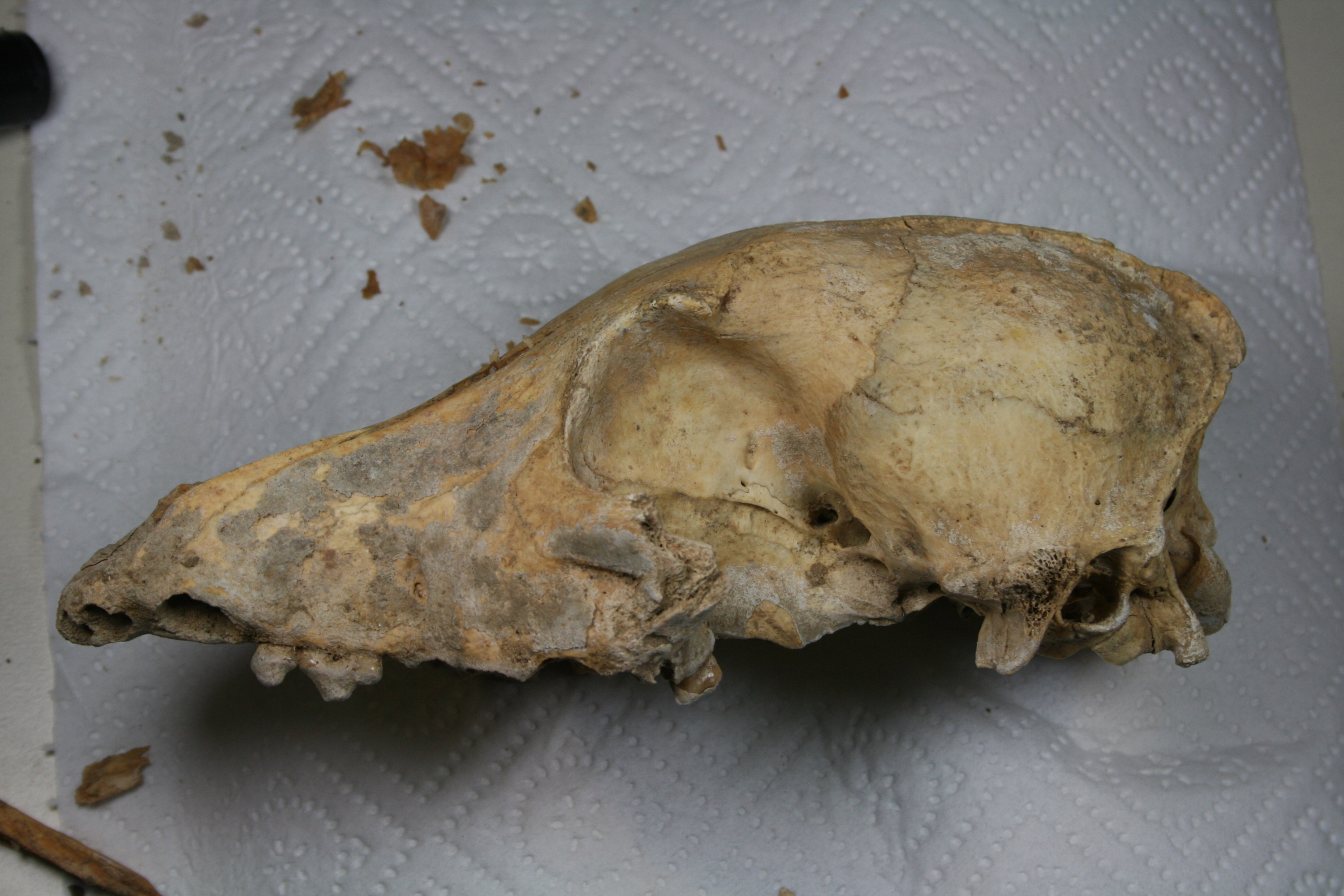 Skull of Neolithic Dog in the Lab