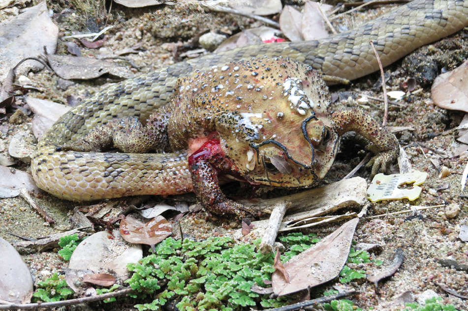 Small-banded kukri snake with its head inserted into the abdomen of an Asian black-spotted toad