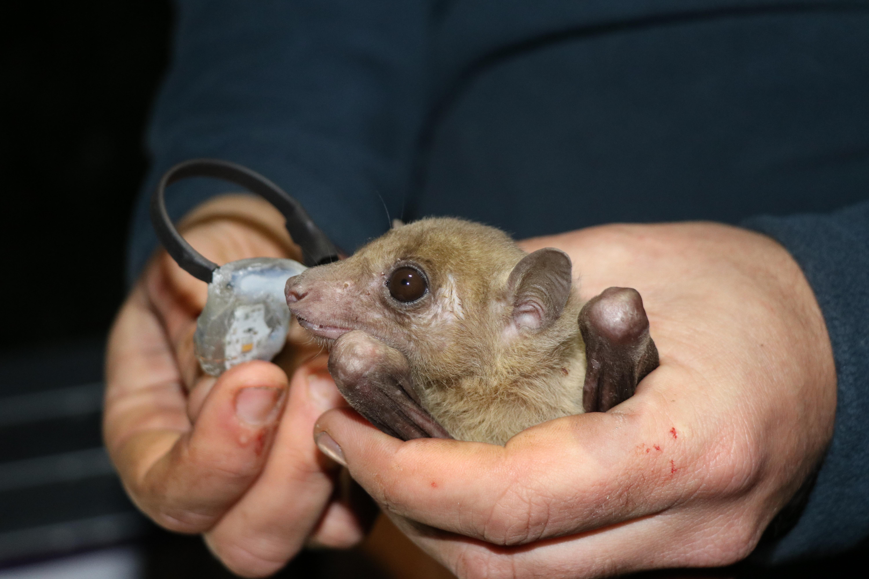 Researchers attach ATLAS collar to bat