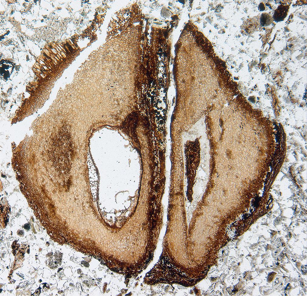 Cretaceous mahogany